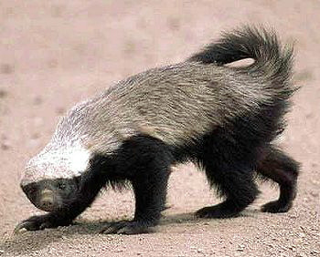 Brandon said that he was like a Honey Badger.  Photo by Jaganath.